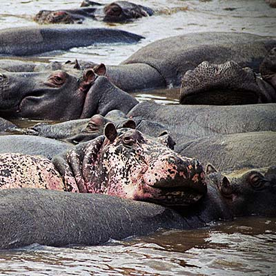 Happy hippo in the Mara river